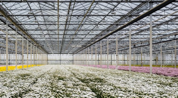 Dutch Flowers Fuel Valentine's Day