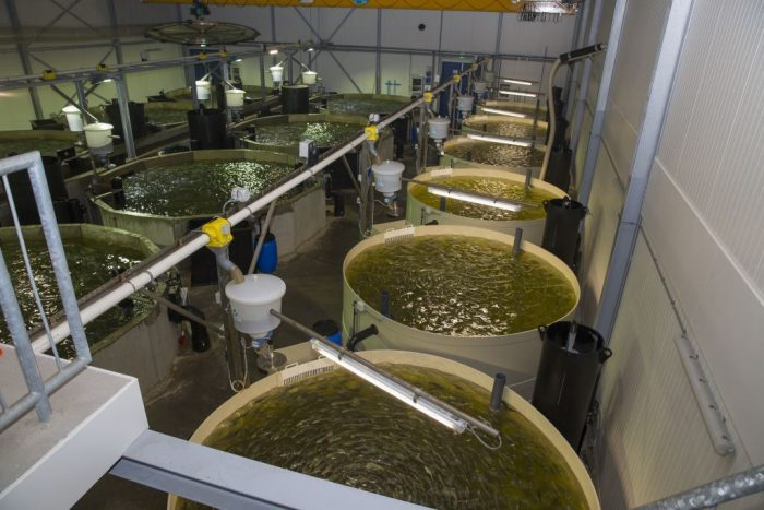 Holland's largest fish farm on land cultivates Yellowtail